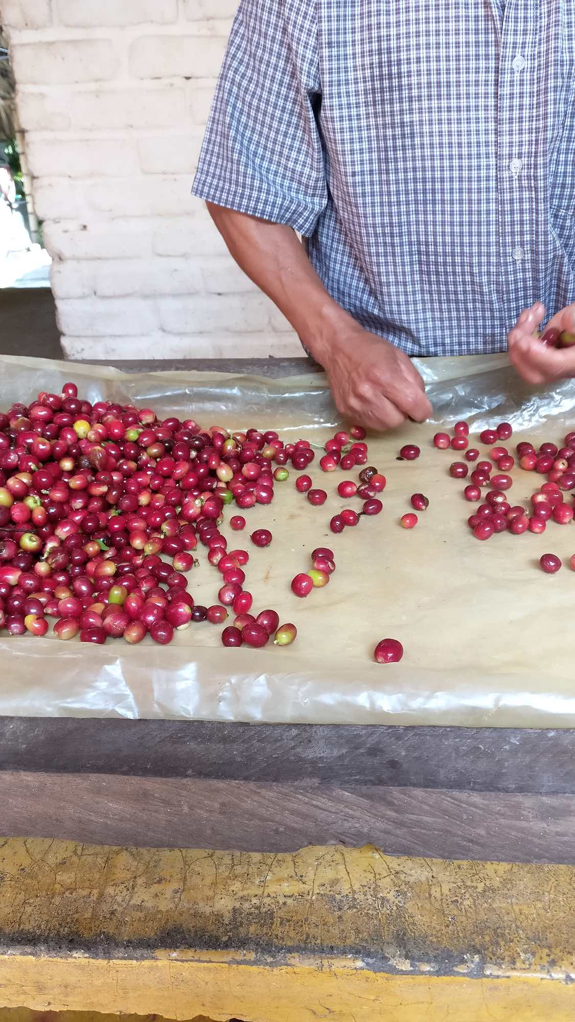 Processing coffee beans by hand