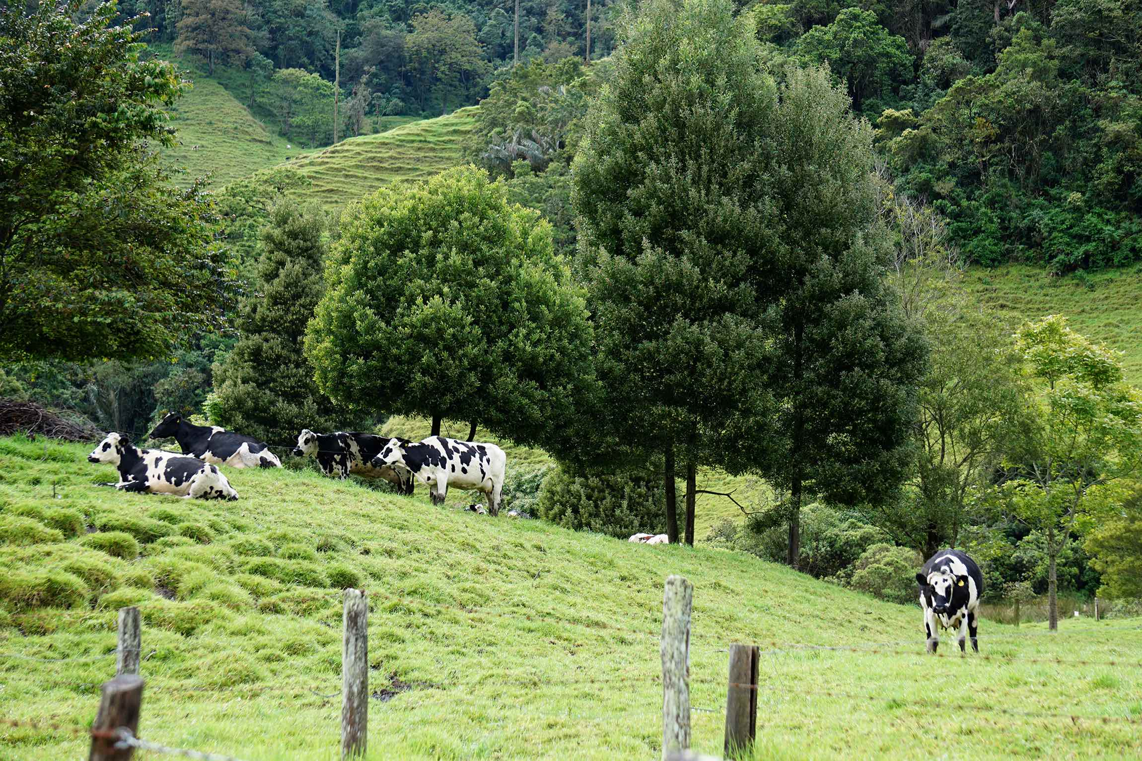cows while hiking Cocora Valley, Salento, Colombia