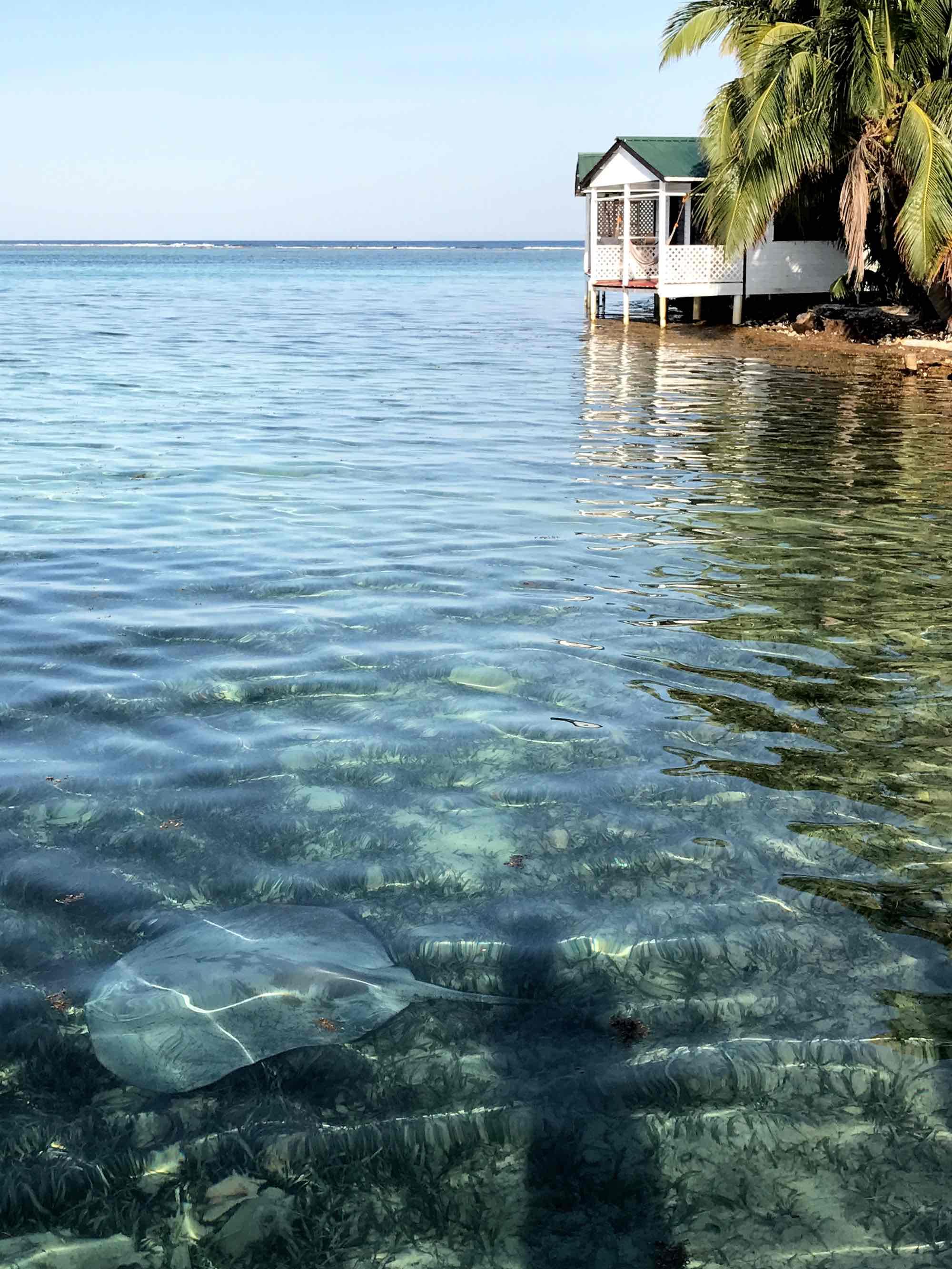 stingray near Tobacco Caye | Sailing in Belize