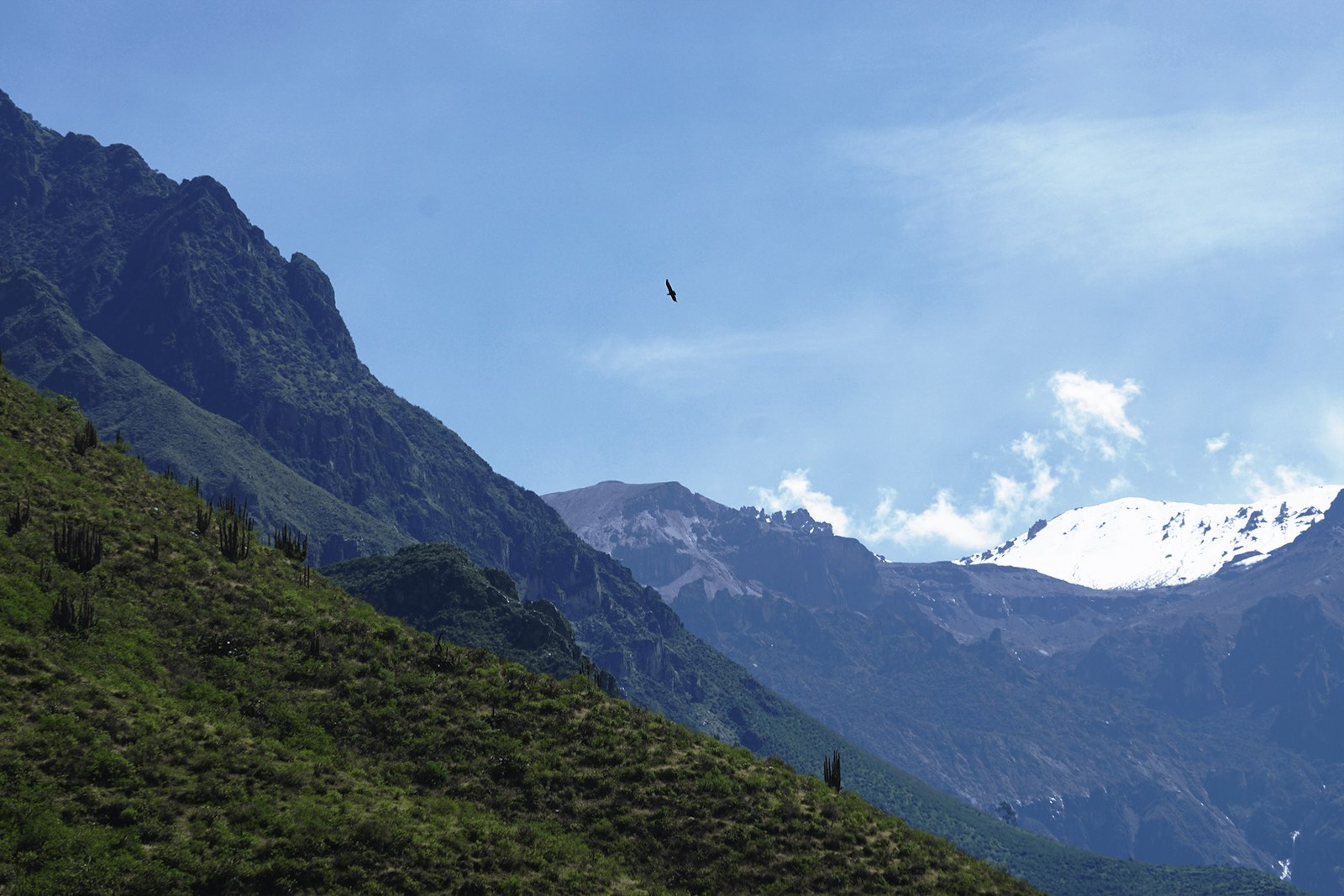 Andean condor flying over Colca Canyon
