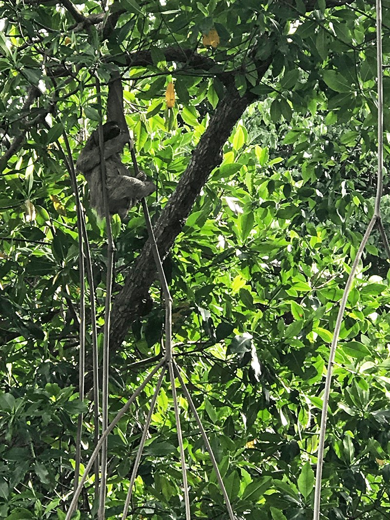 sloth in Bocas del Toro, Panama
