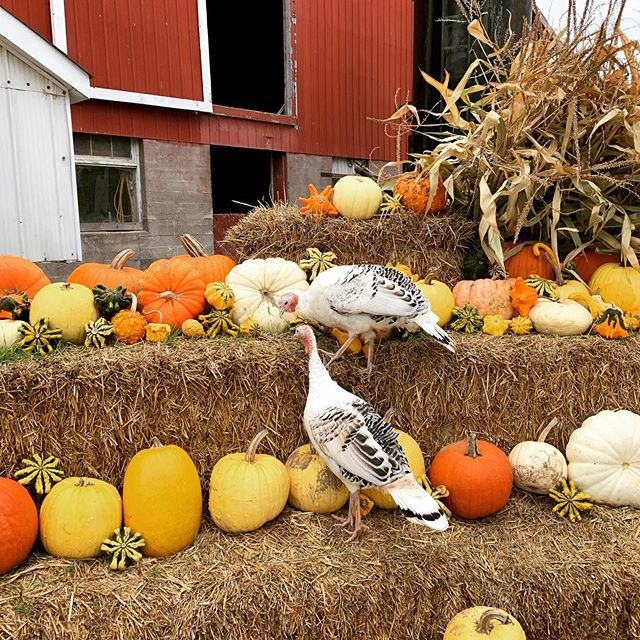 Happy Thanksgiving! #princeedwardcountyontario #turkey #pumpkins