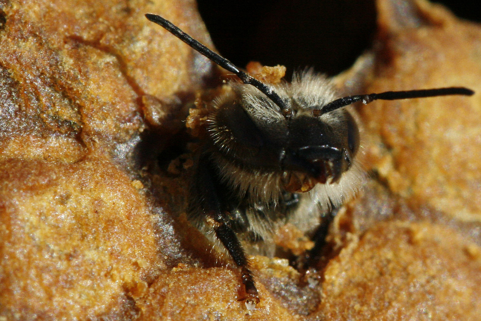 A Young bee emerging from its cell in the hive.