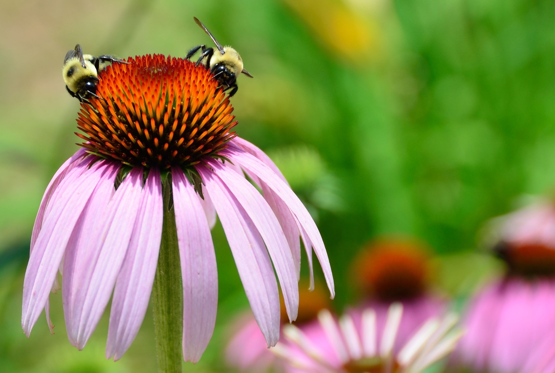 Bumblebees collecting pollen and nectar from an aster
