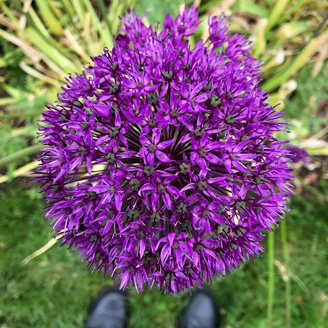 Some beautiful Allium.  #plant #plants #nature #gardening #allium #botany #biology #alliums #flower #garden #flowers #spring
