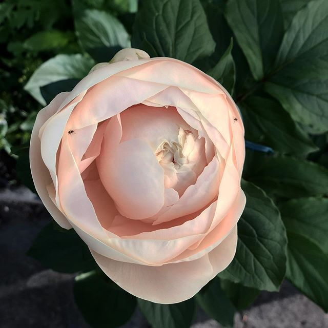 This peony opened just before my trip to Montreal. After tending it for months, it was like an ethereal gift.