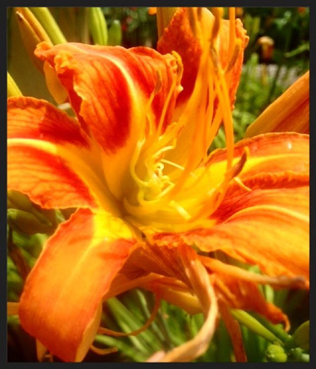 Sale of the week! We have some 3 and 5 gallon fiery orange day lilies on sale for 50% off! These prolific summer bloomers make a wonderful cut flower for homemade garden bouquets!