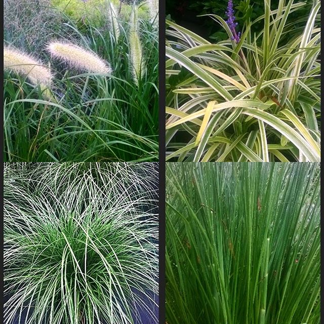 We have a variety of ornamental and tall grasses that create a textured landscape or provide added privacy. These are great for screening around your pool or patio area, or edging around your property. We're open M-SAT 10-5!