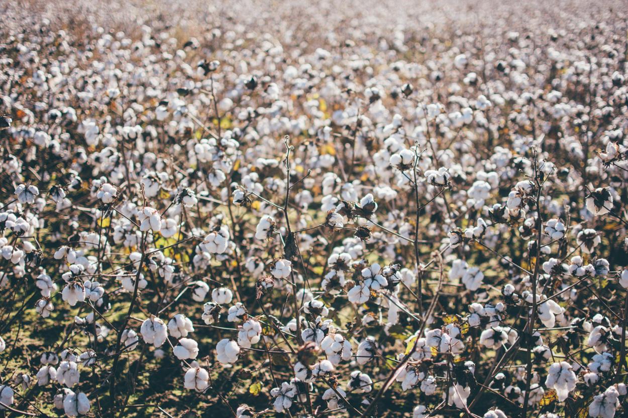 KK_cotton-7_1250.jpg
