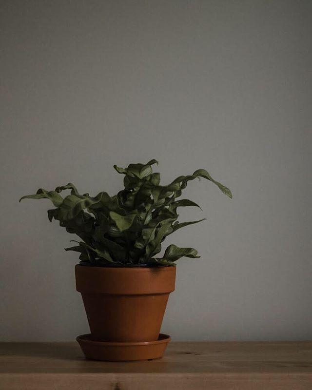 New plant mood 🌱 #greenery #subjectlight #livefolk #moody #stilllife #fern #birdsnestfern