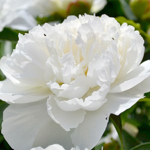 Pure white, early-variety, wonderful filler peony or equally beautiful with silver foliage for early spring weddings.