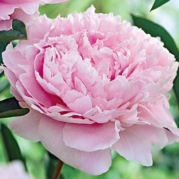 SARAH BERNHARDT   Among the most popular of all peonies; the outstanding double bloom candy-blossom pink.