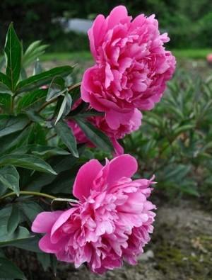 EDULIS SUPERBA   Superb mid-season large bloom with strong perfume.