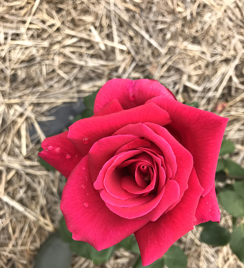 Velvet Red. If love, kisses + heartbeats shared a colour it would be this {Hybrid Tea}.