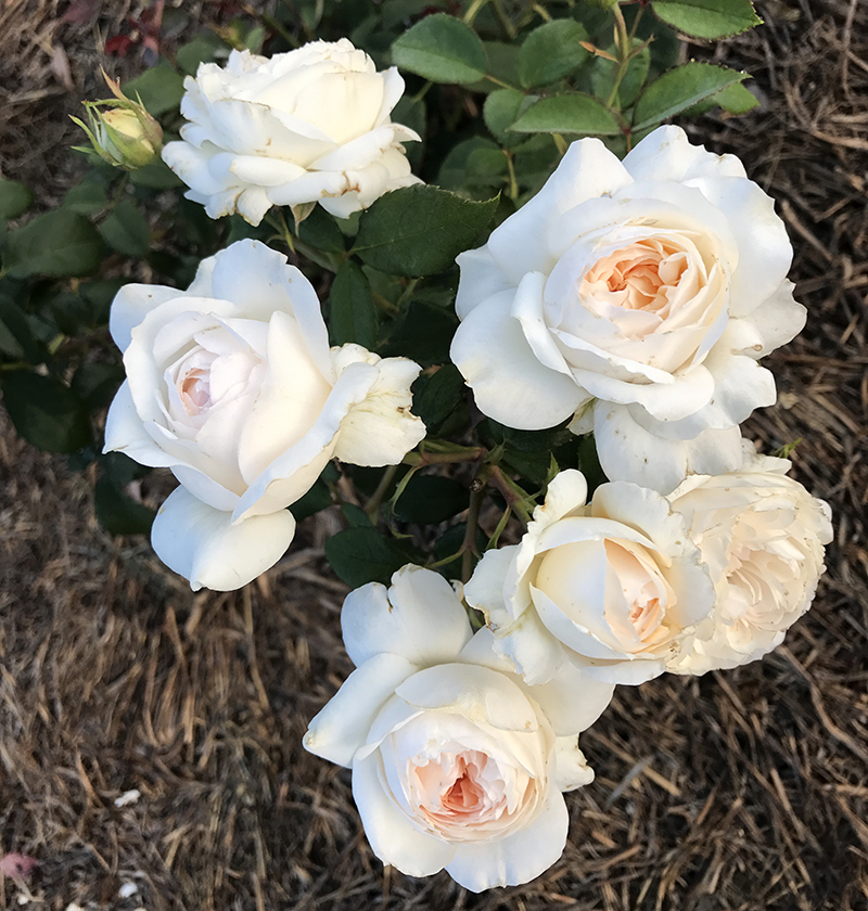 White with Pink-to-Apricot tones with a sweet alluring perfume {Modern Shrub}.