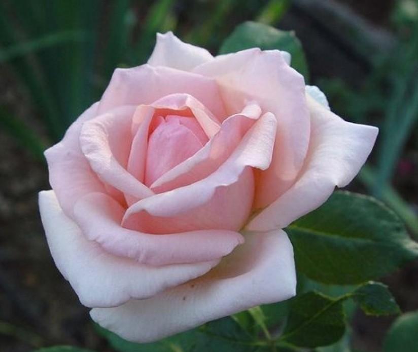Light soft pink {Hybrid Tea}