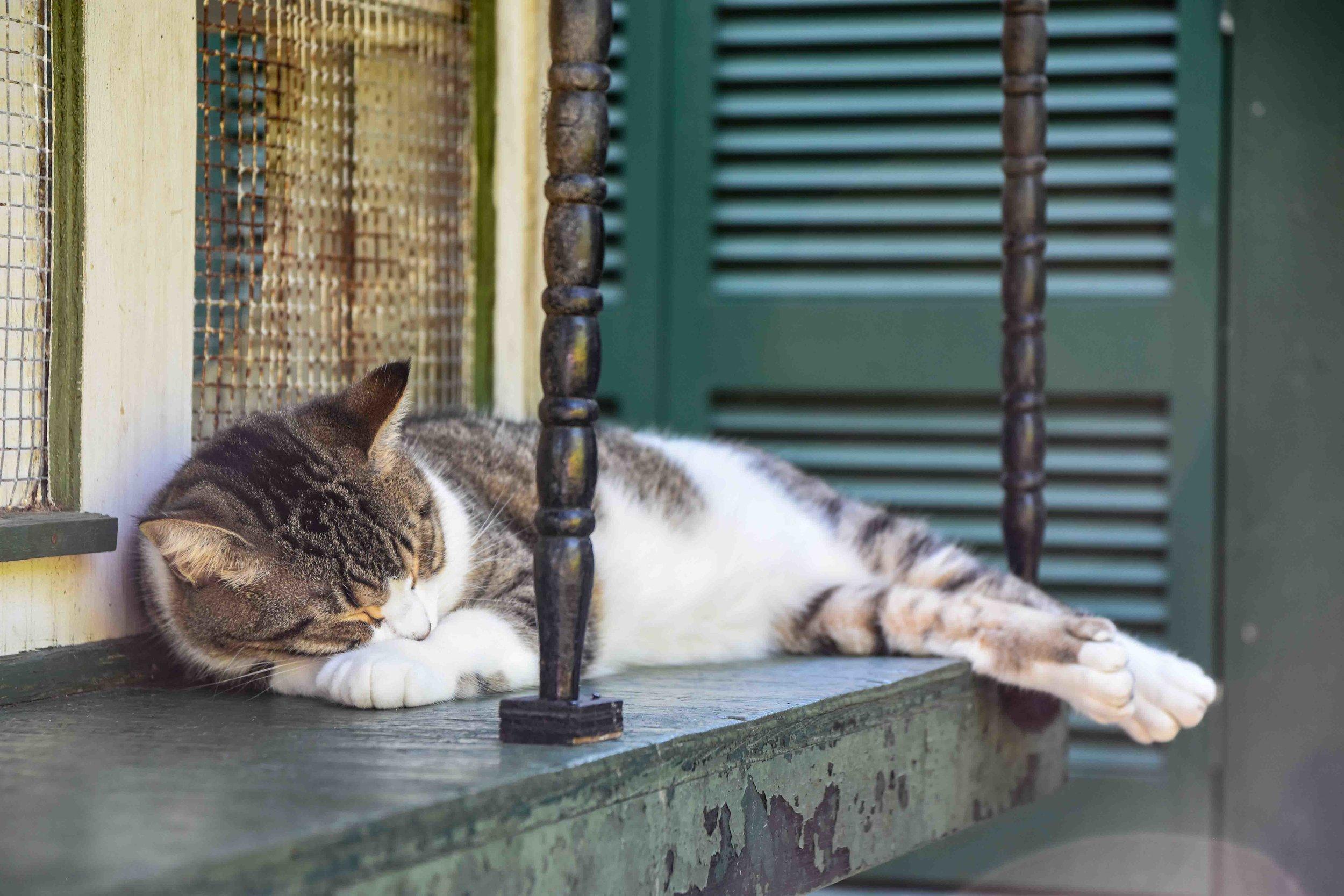 Hemingway's Cat, Key West, Florida