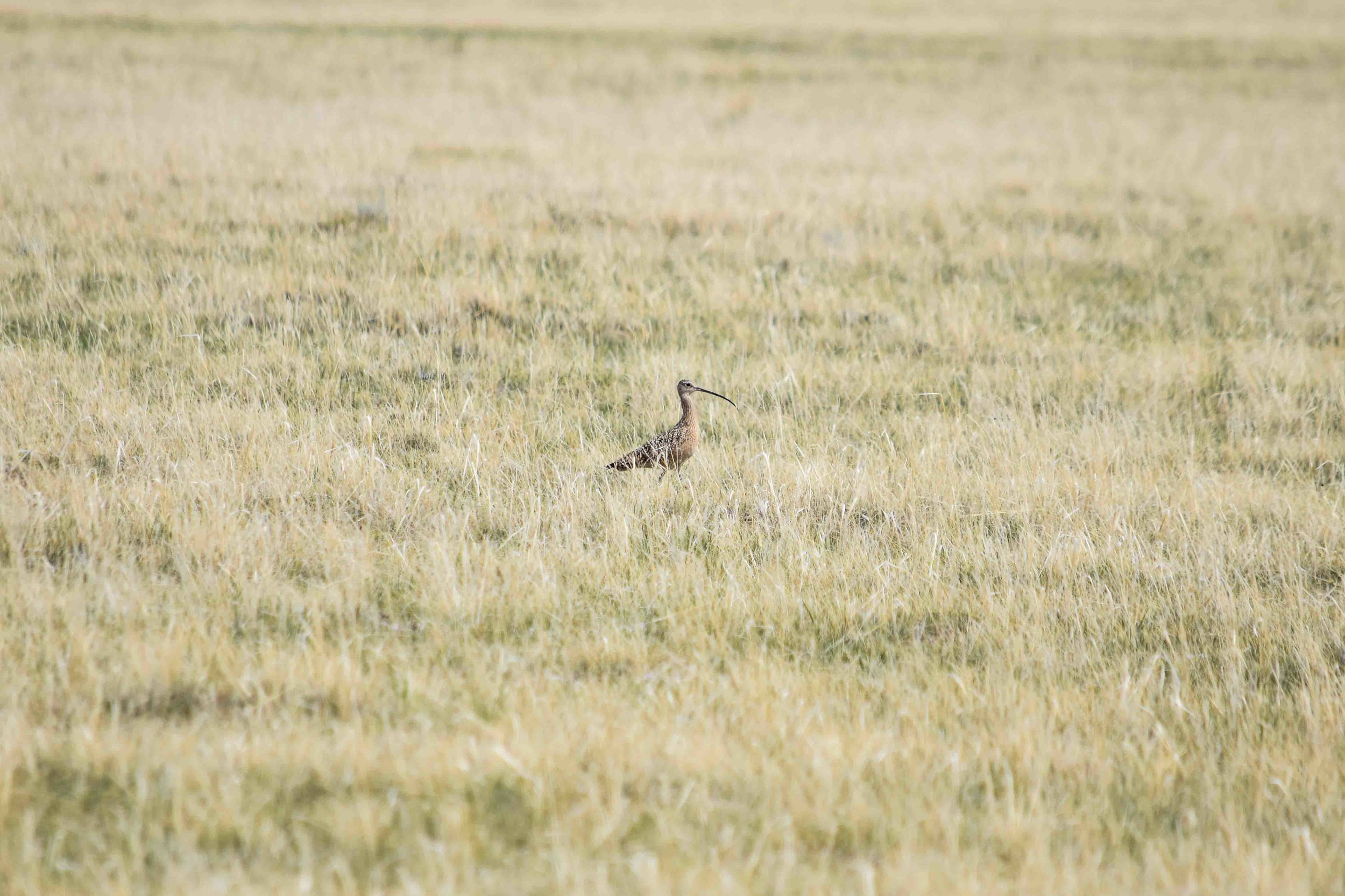 Curlew, Montana