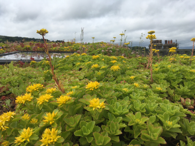 sedumflower1.jpg