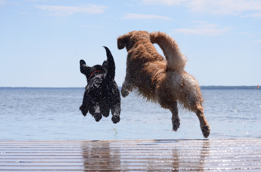 two dog jumping off dock into water