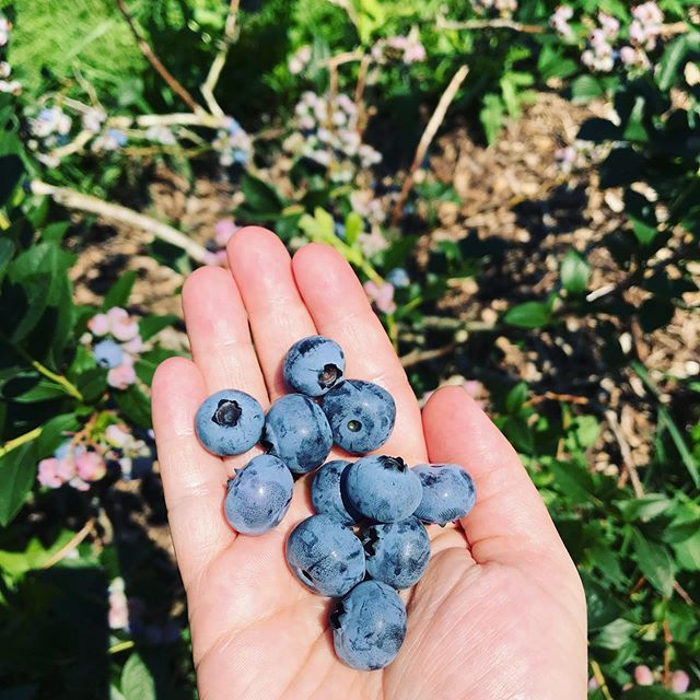 Summer adventuring to @triple_b_farms for blueberries. What makes you feel joyous and abundant this weekend?