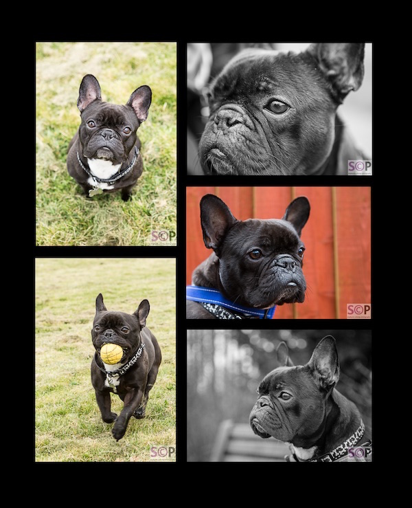 black french bulldog five images.jpg