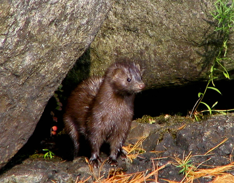 A  mink  on  Lower Saranac Lake . Taken by  Mwanner , 18 October, 2007.