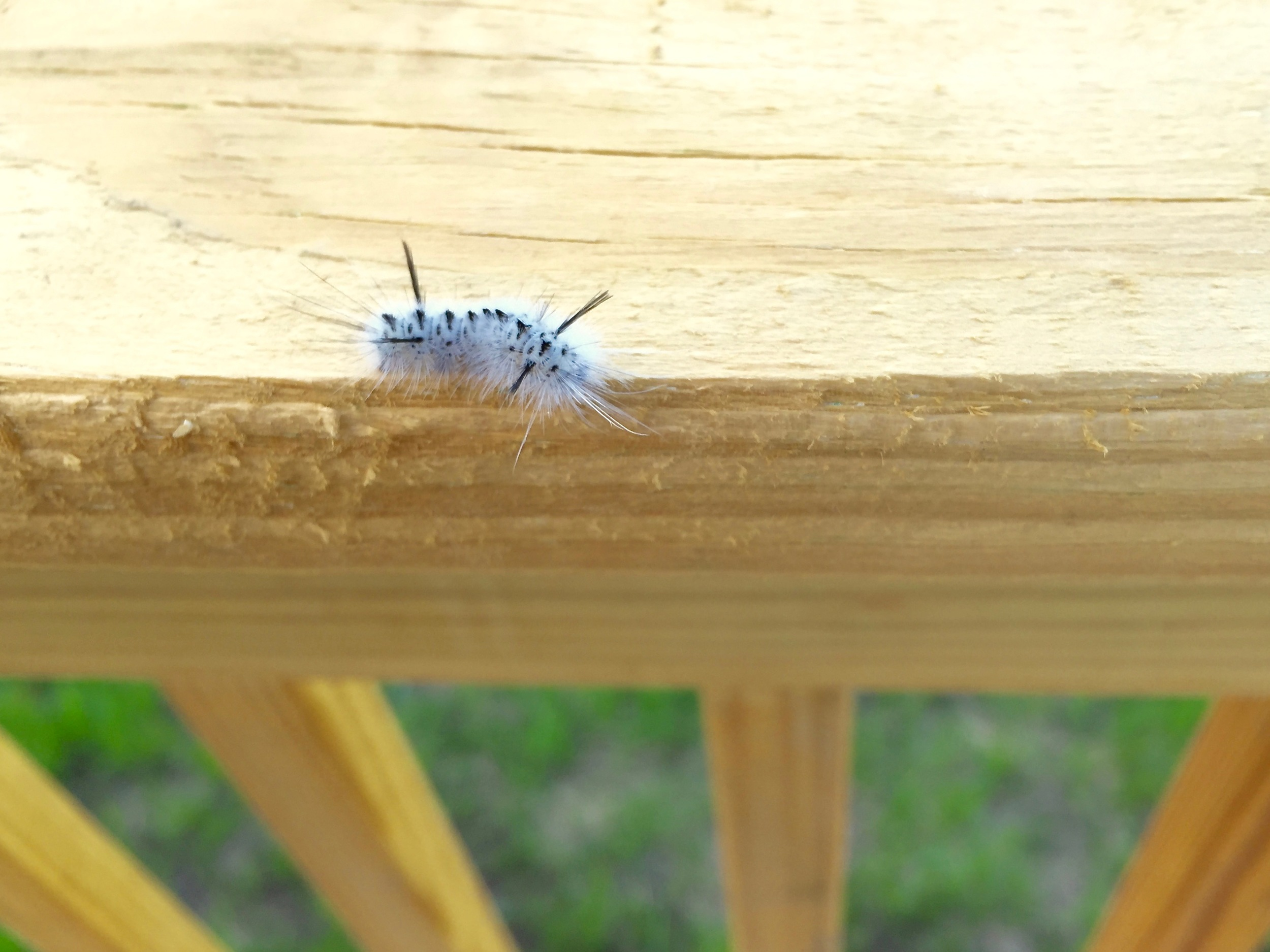 The fuzzy black and white Hickory Tussock Moth Caterpillar can cause a severe allergic reaction.