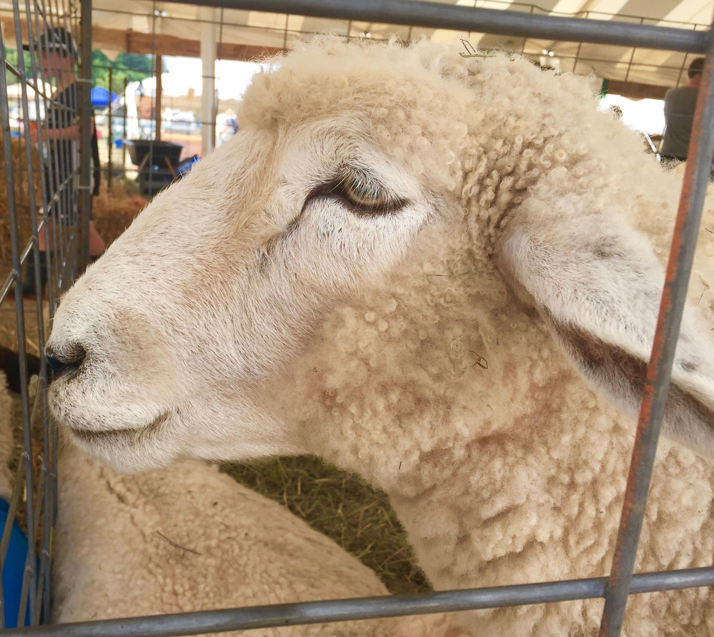 Sheep at greene county youth fair
