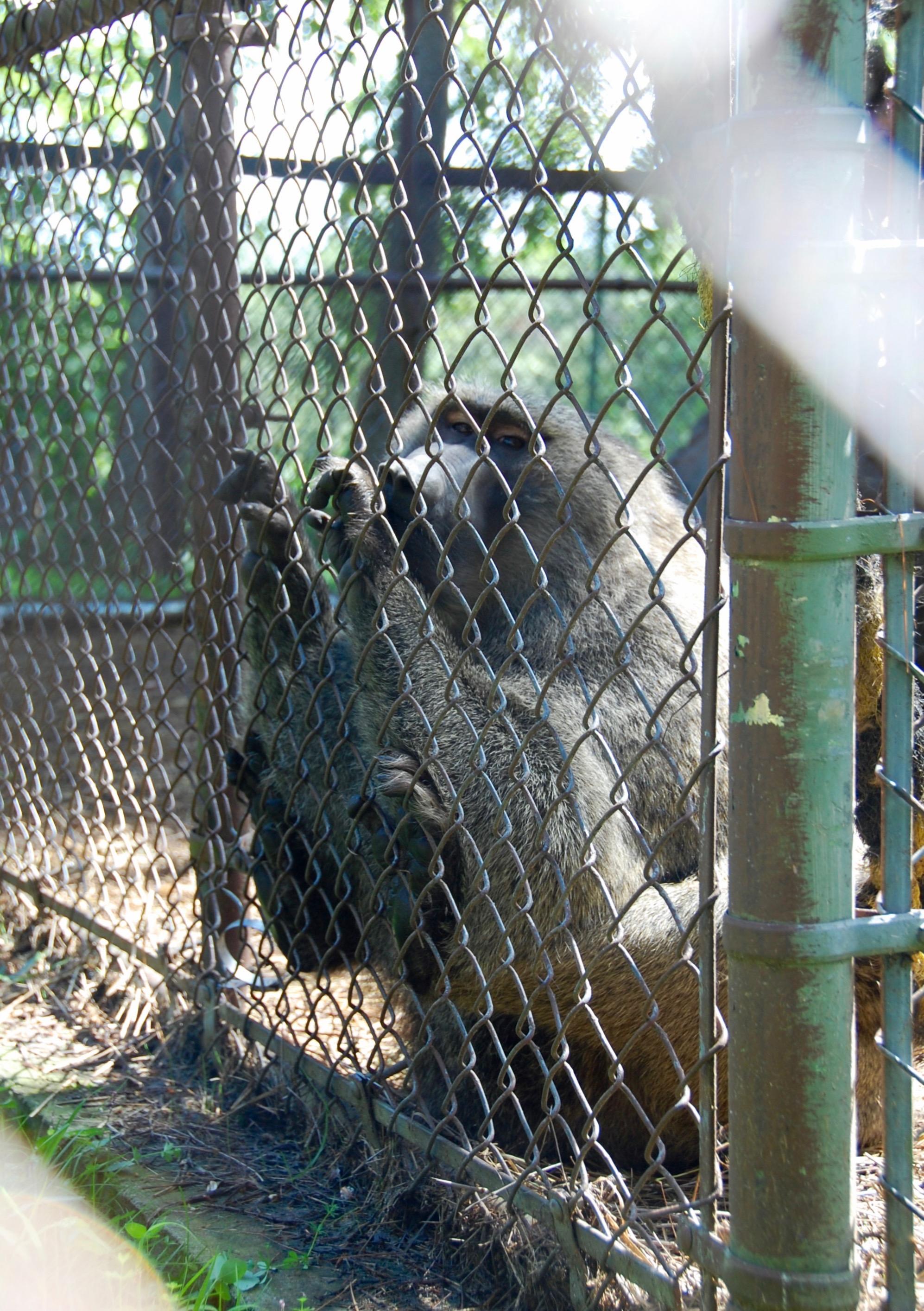 bailiwick ranch zoo babboon