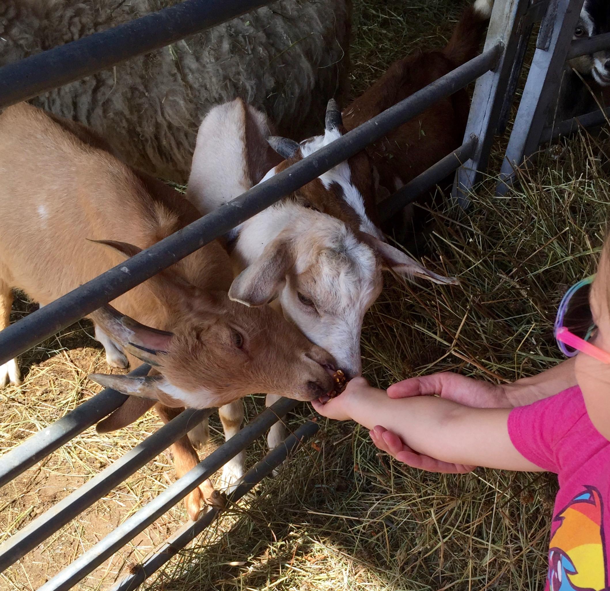feeding goats at k&k