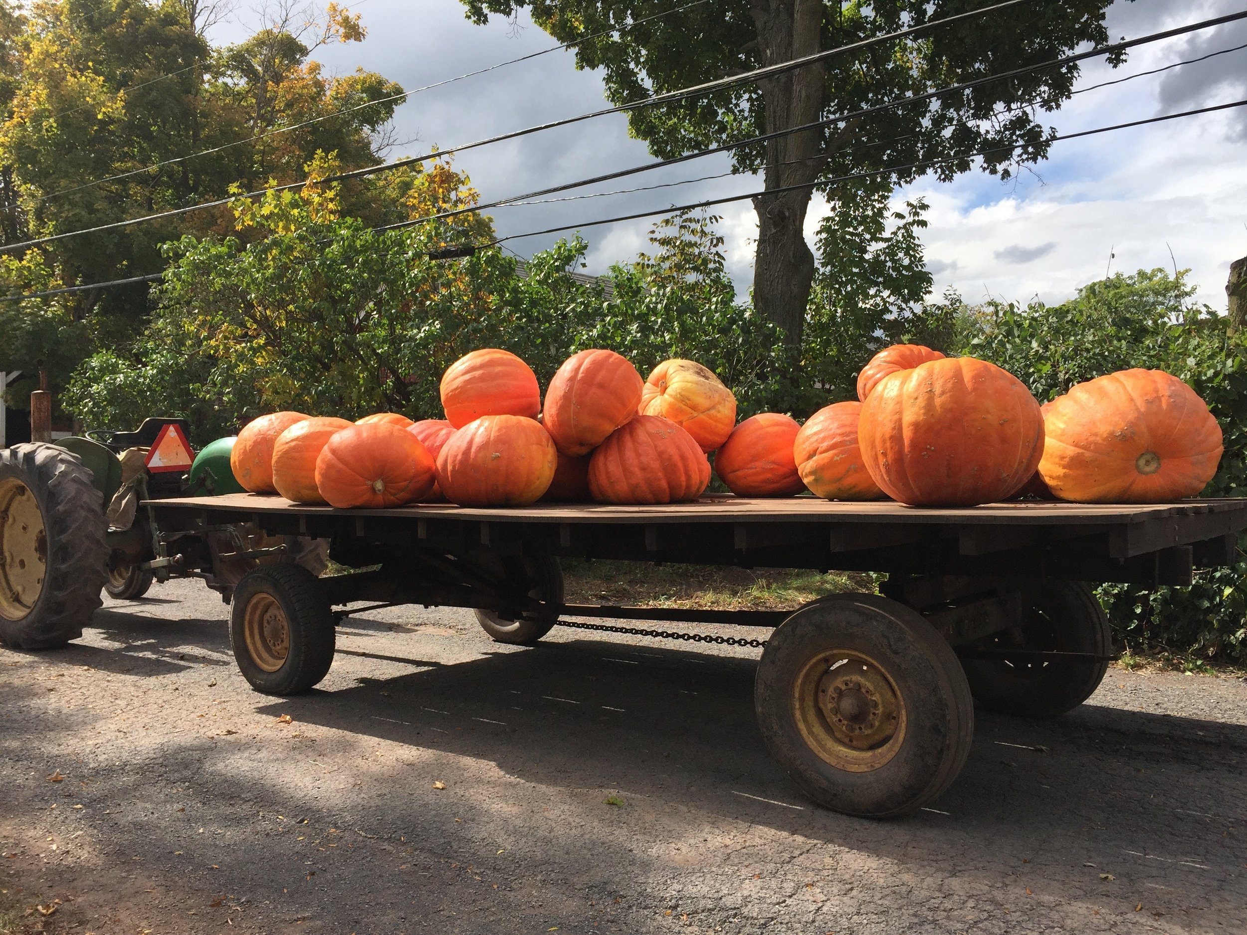 Giant pumpkins at Story Farms