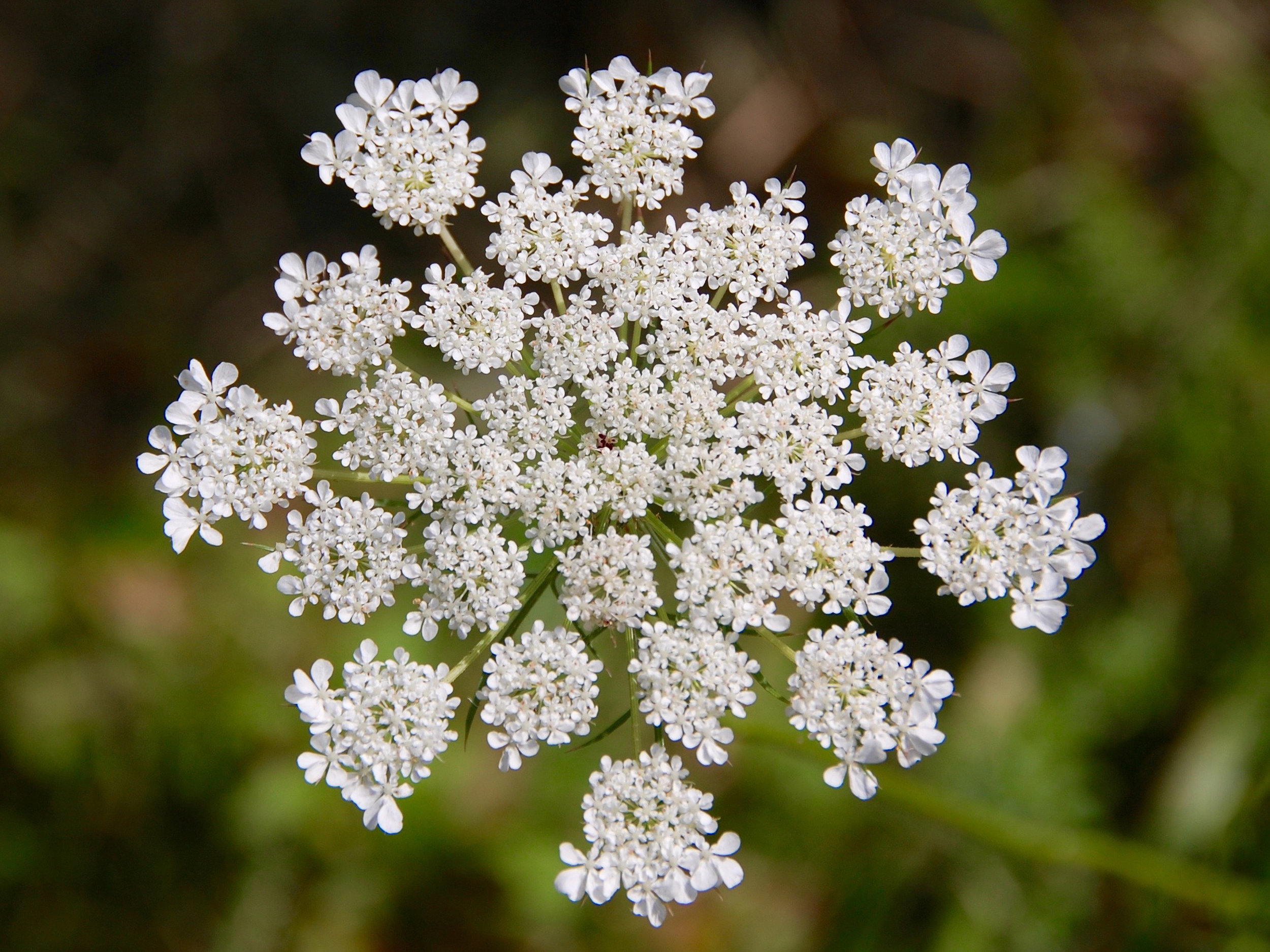 Queen Anne's Lace, a.k.a. wild carrot, bird's nest, or bishop's lace