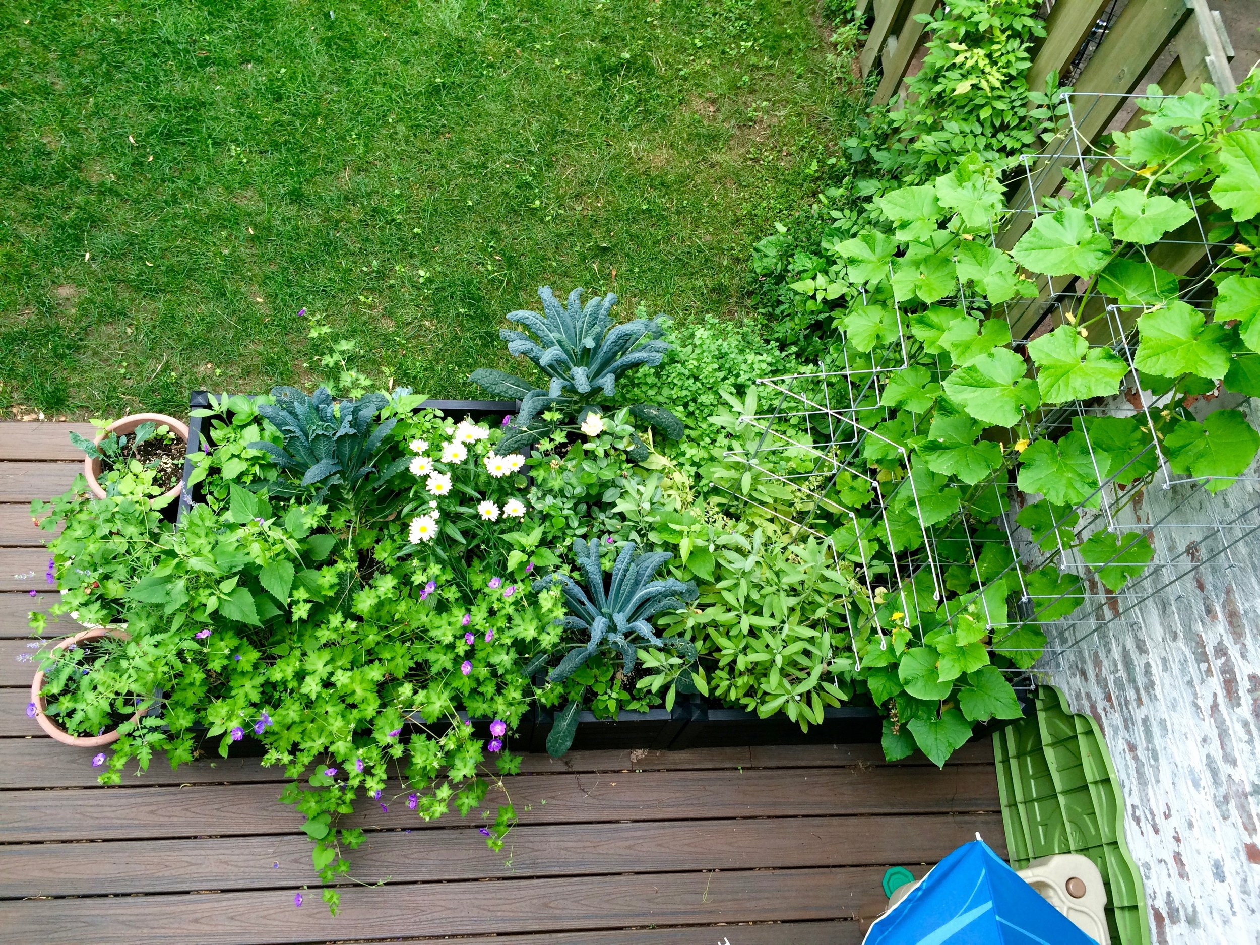 Square foot garden in my Brooklyn backyard, grown using Mel's Mix.