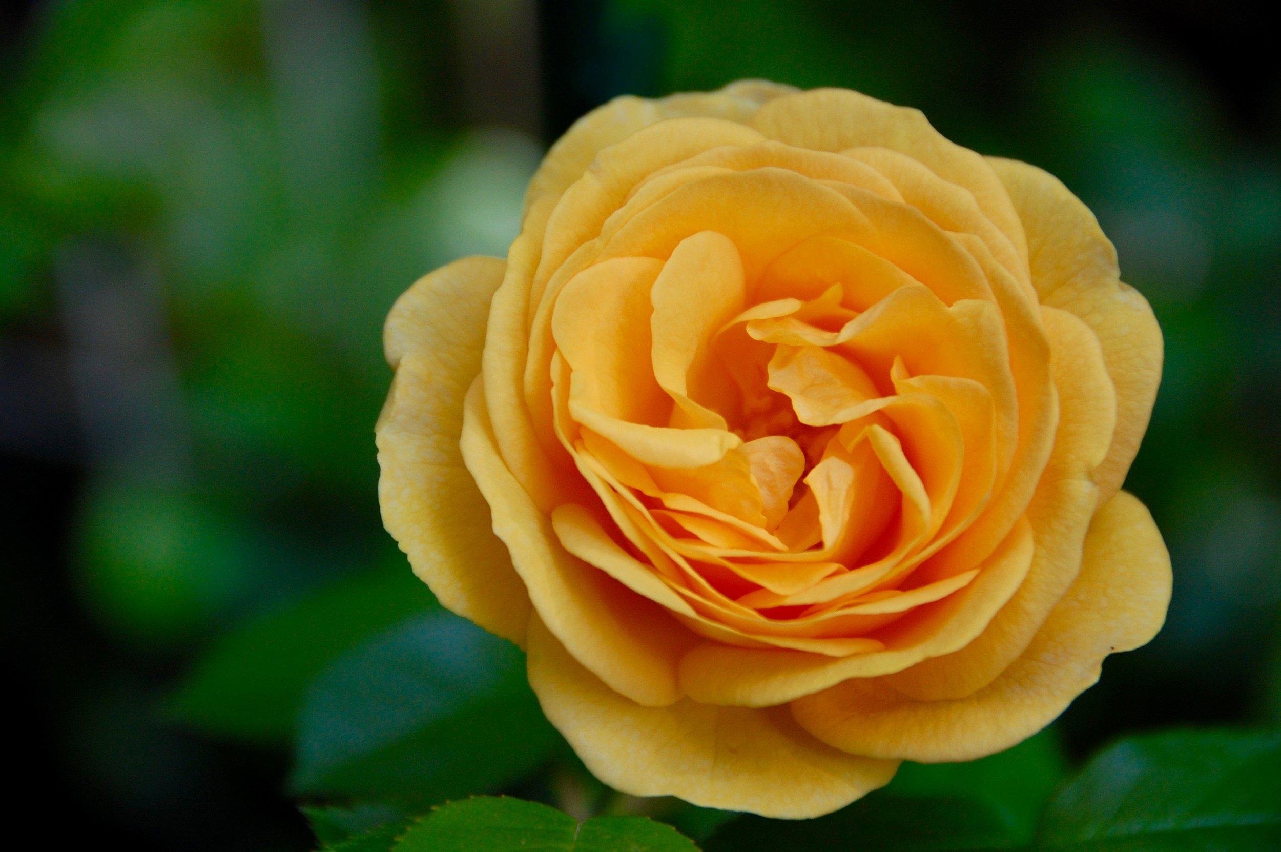 Rose Julia Child from White Flower Farm.