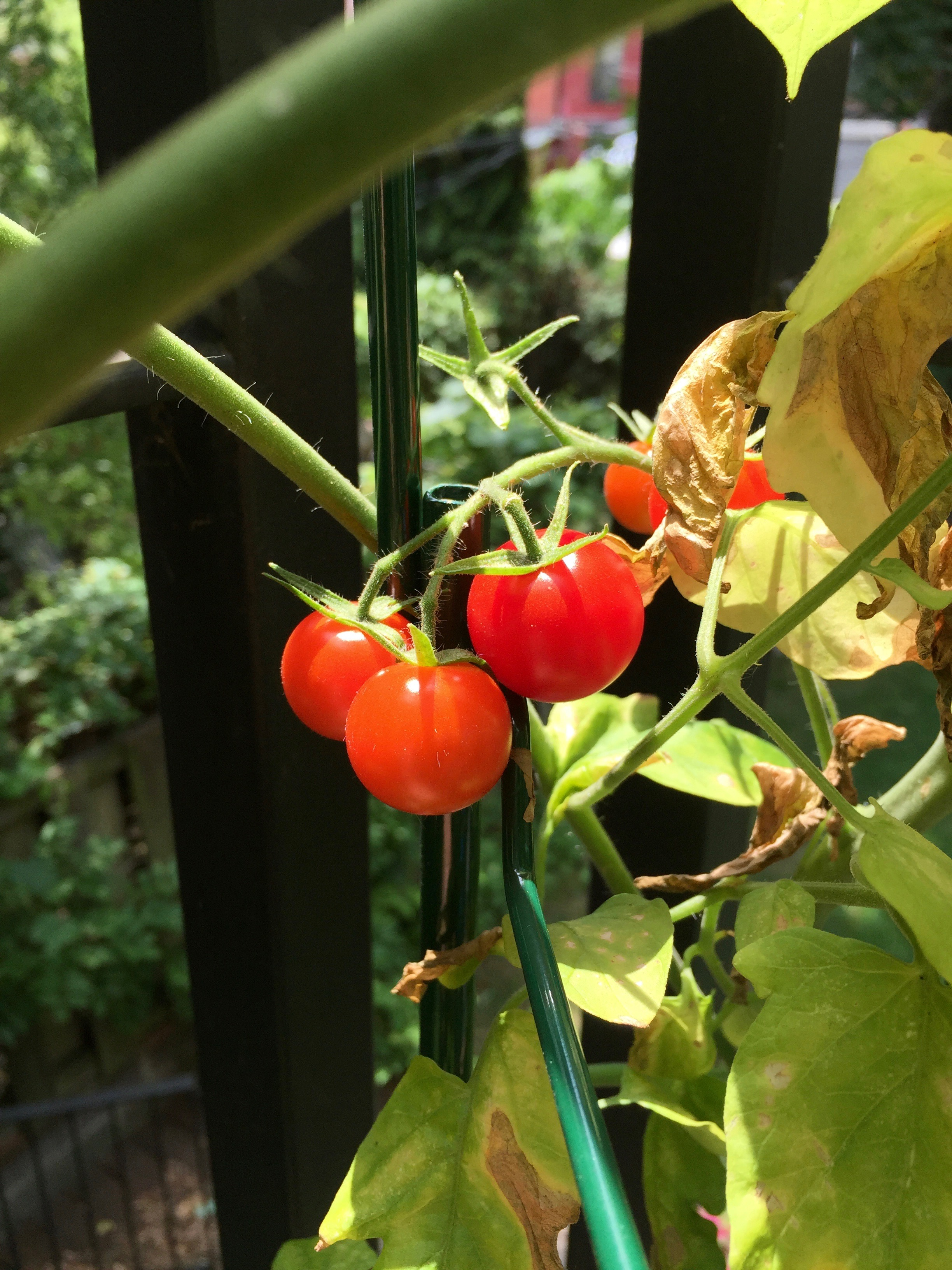 Super Sweet 100 tomatoes grown on my patio.