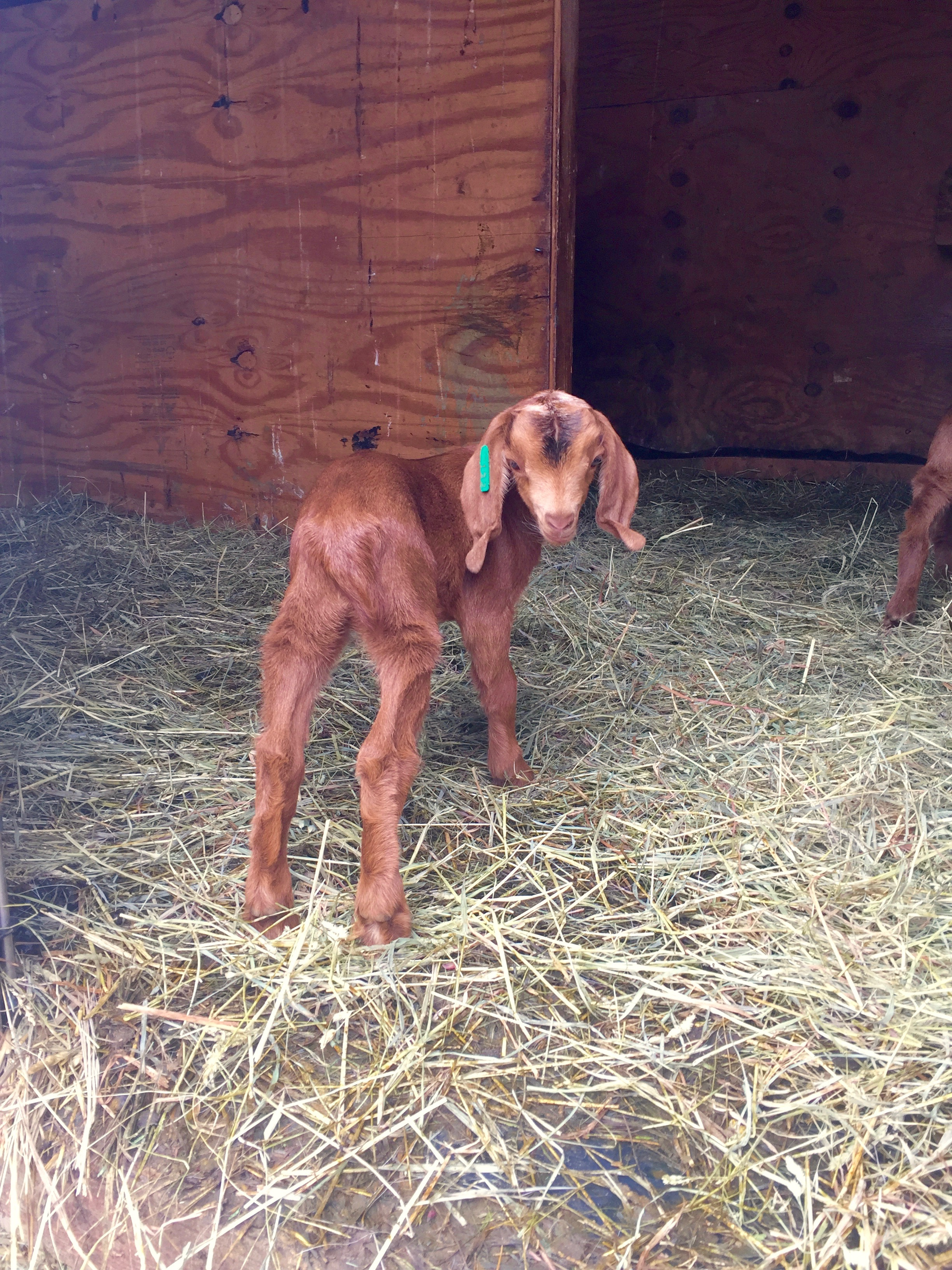 This shy little goat was only about a week old at the time of this photo.