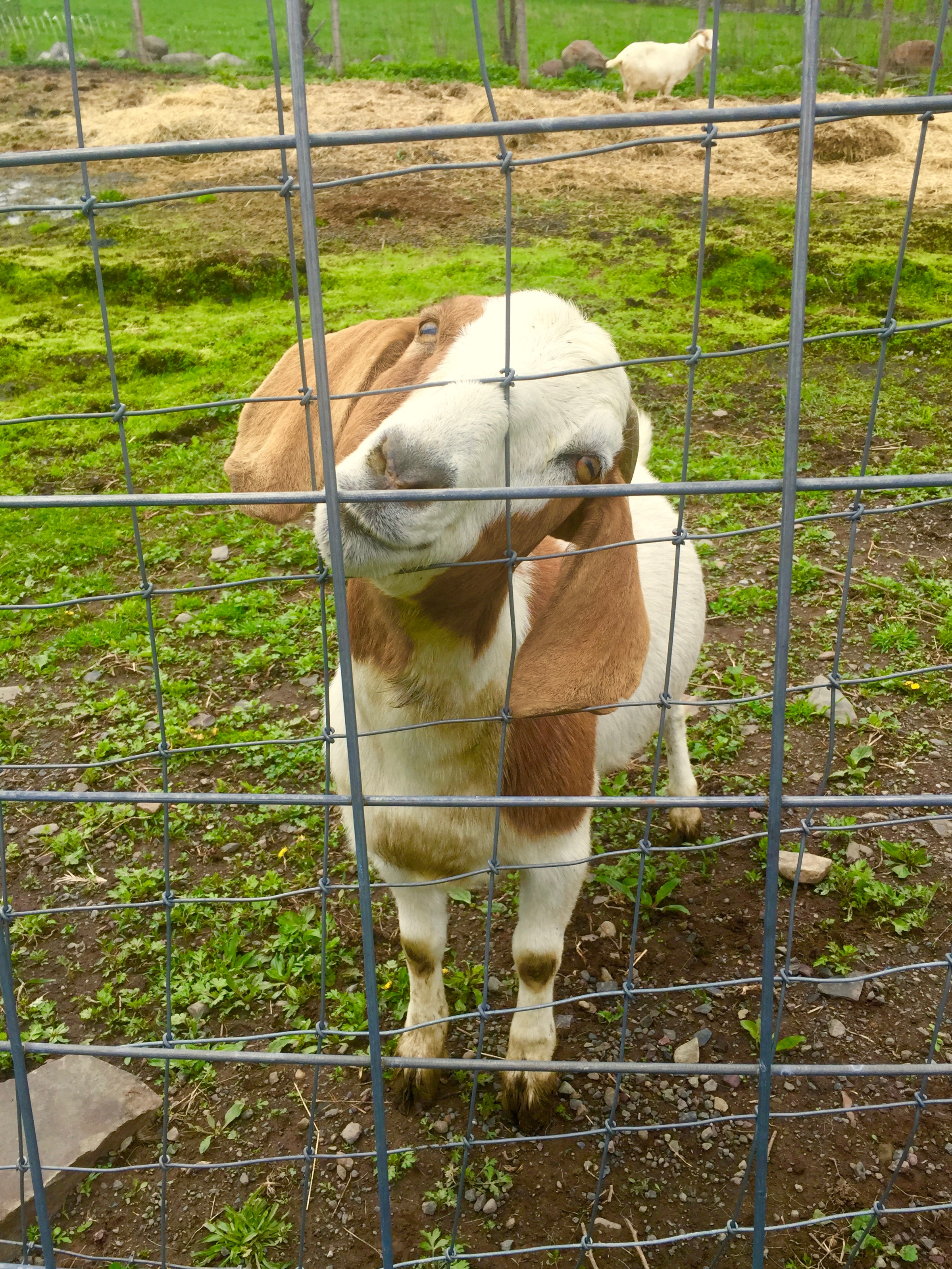 I love goats, too. This farm visit and brunch was the perfect early Mother's Day gift for me.