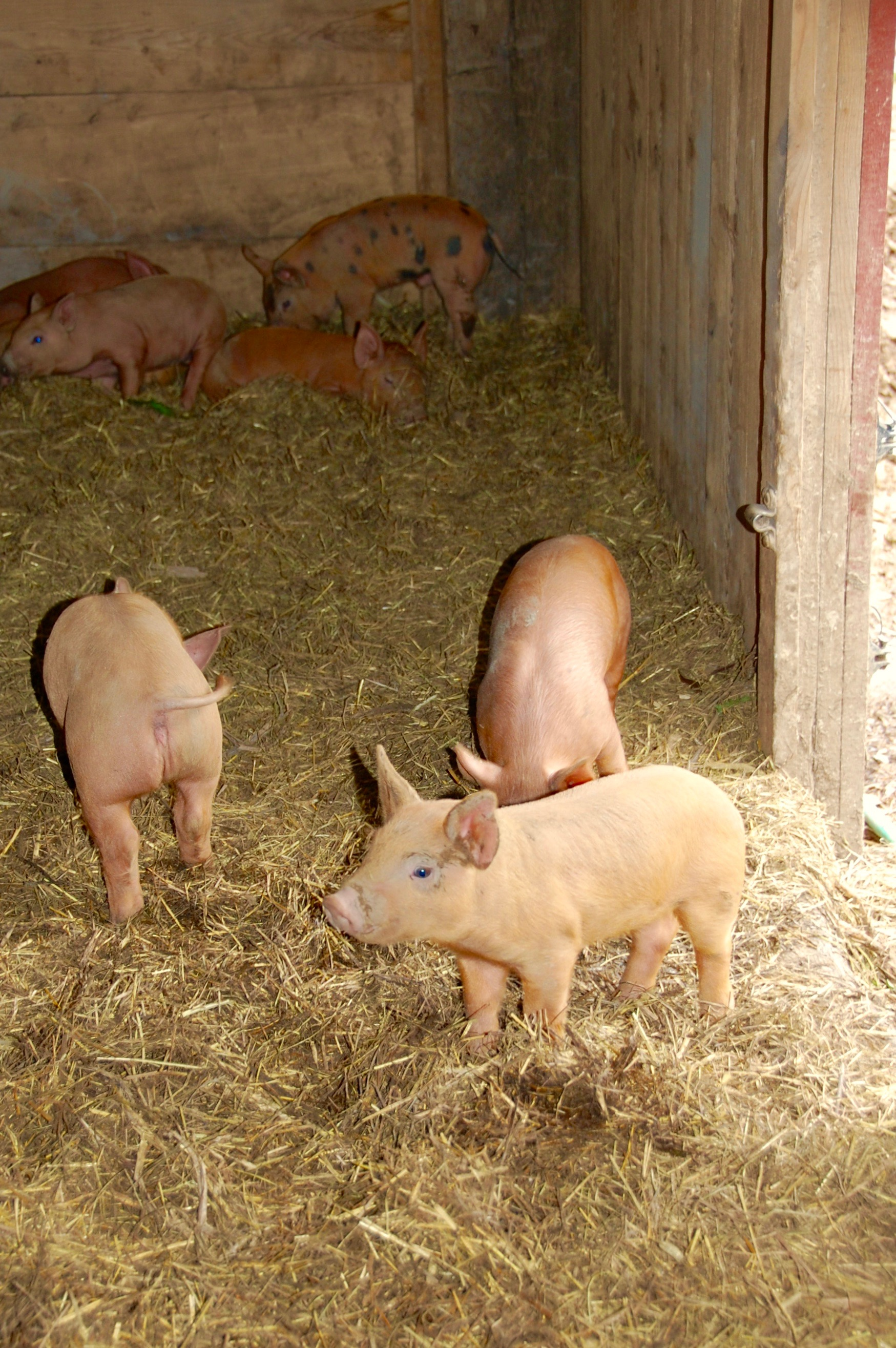Piglets at East Durham Farms
