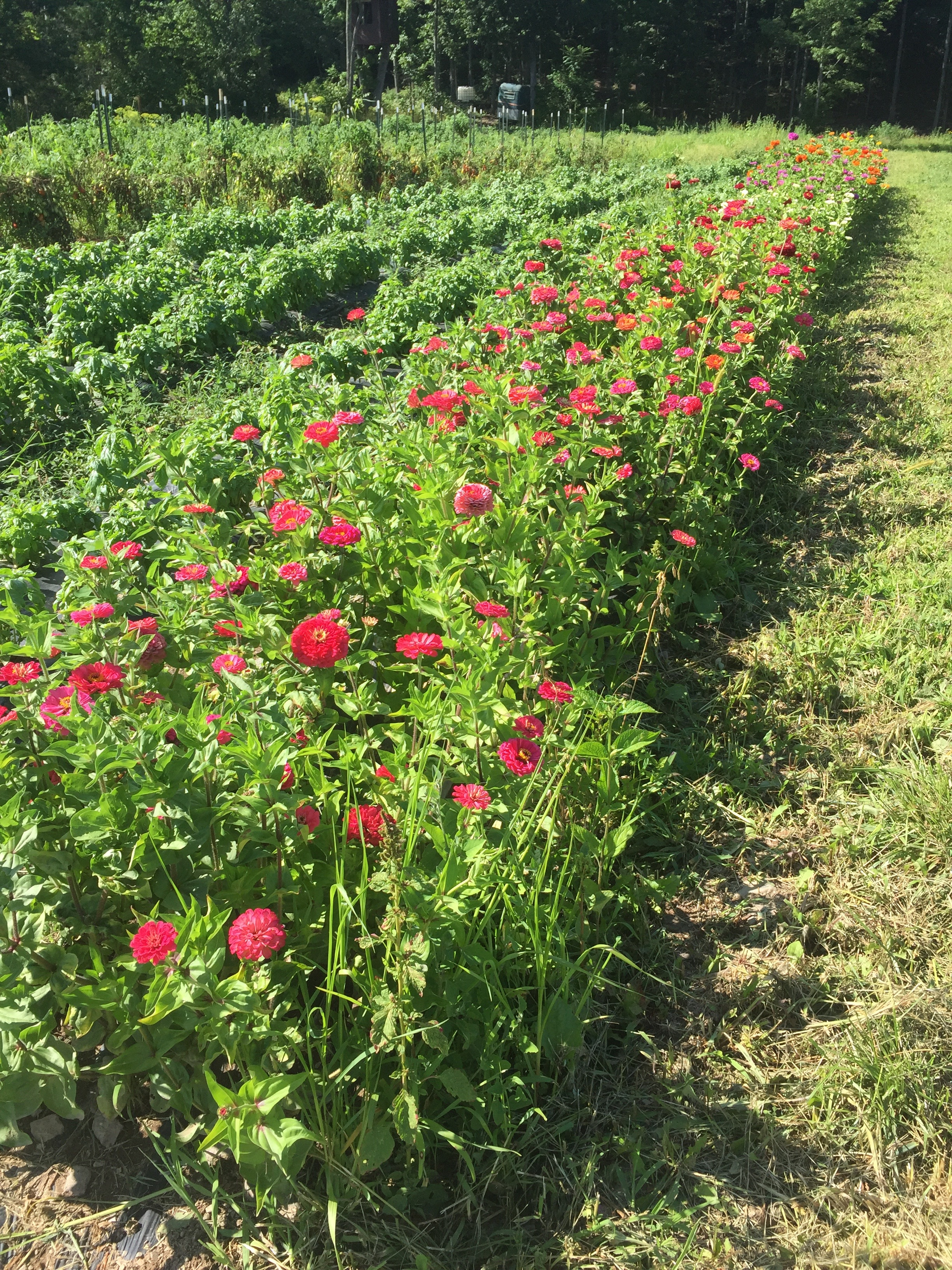 Zinnia field at East Durham Farms