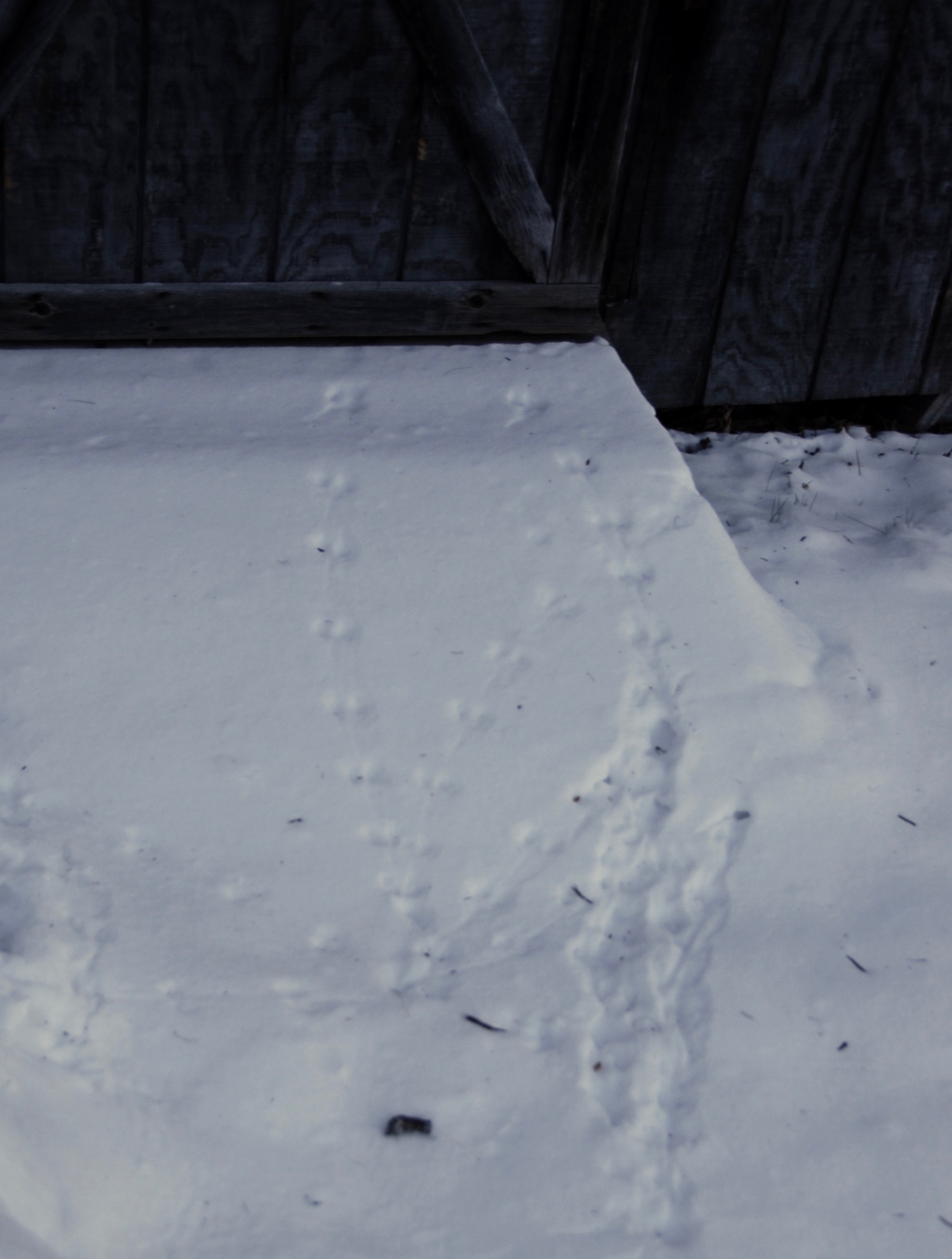 Are these squirrel tracks in the snow near our shed? It doesn't look like they went under the door, but maybe they climbed up it?