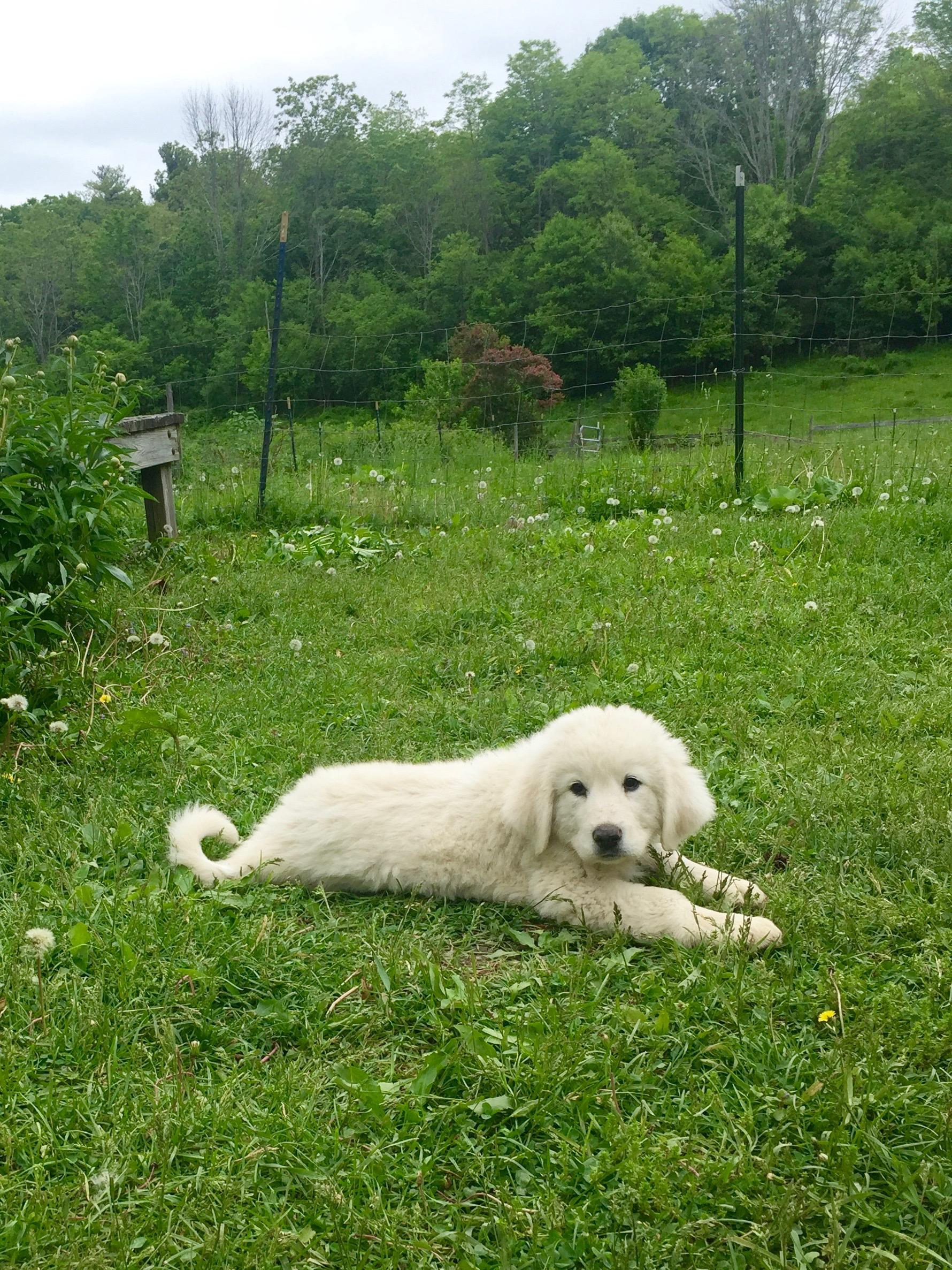 maremma puppy ny