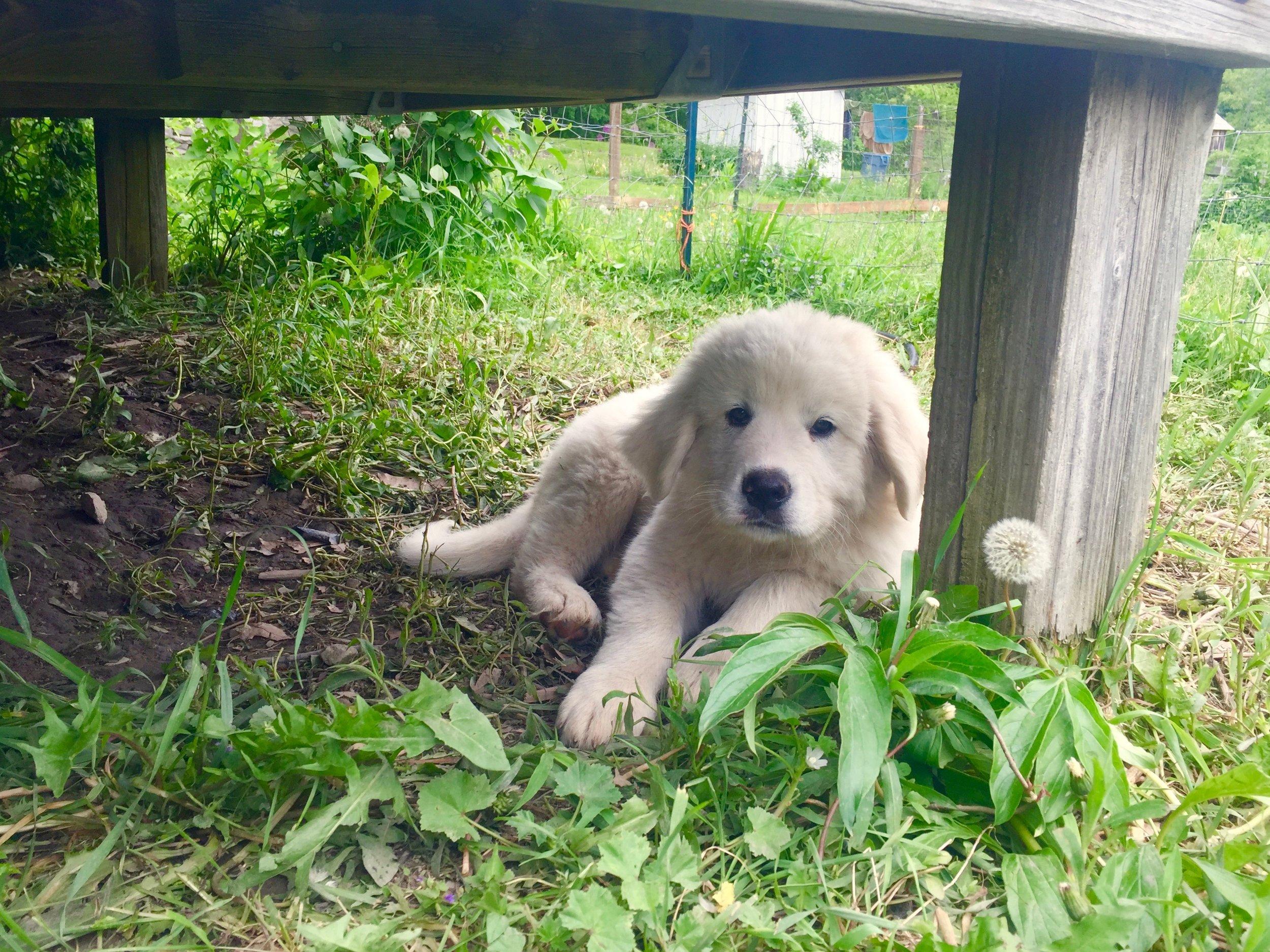 italian sheepdog puppy.jpg
