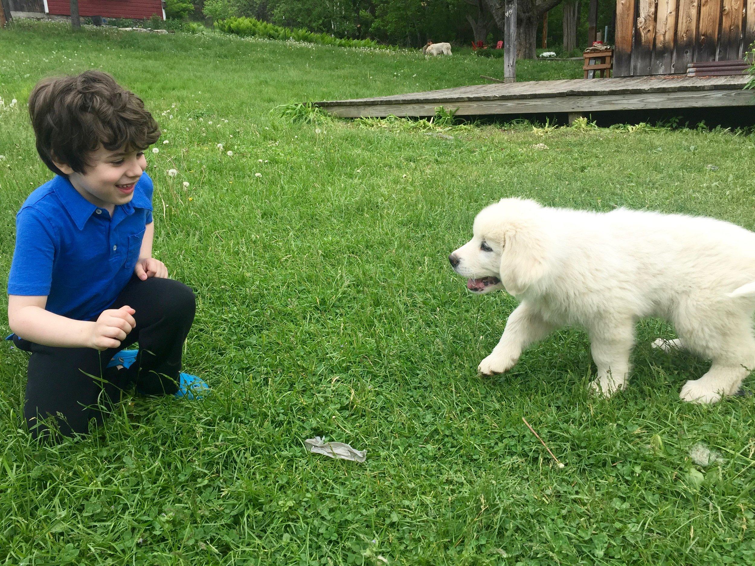 maremma puppy breeder ny