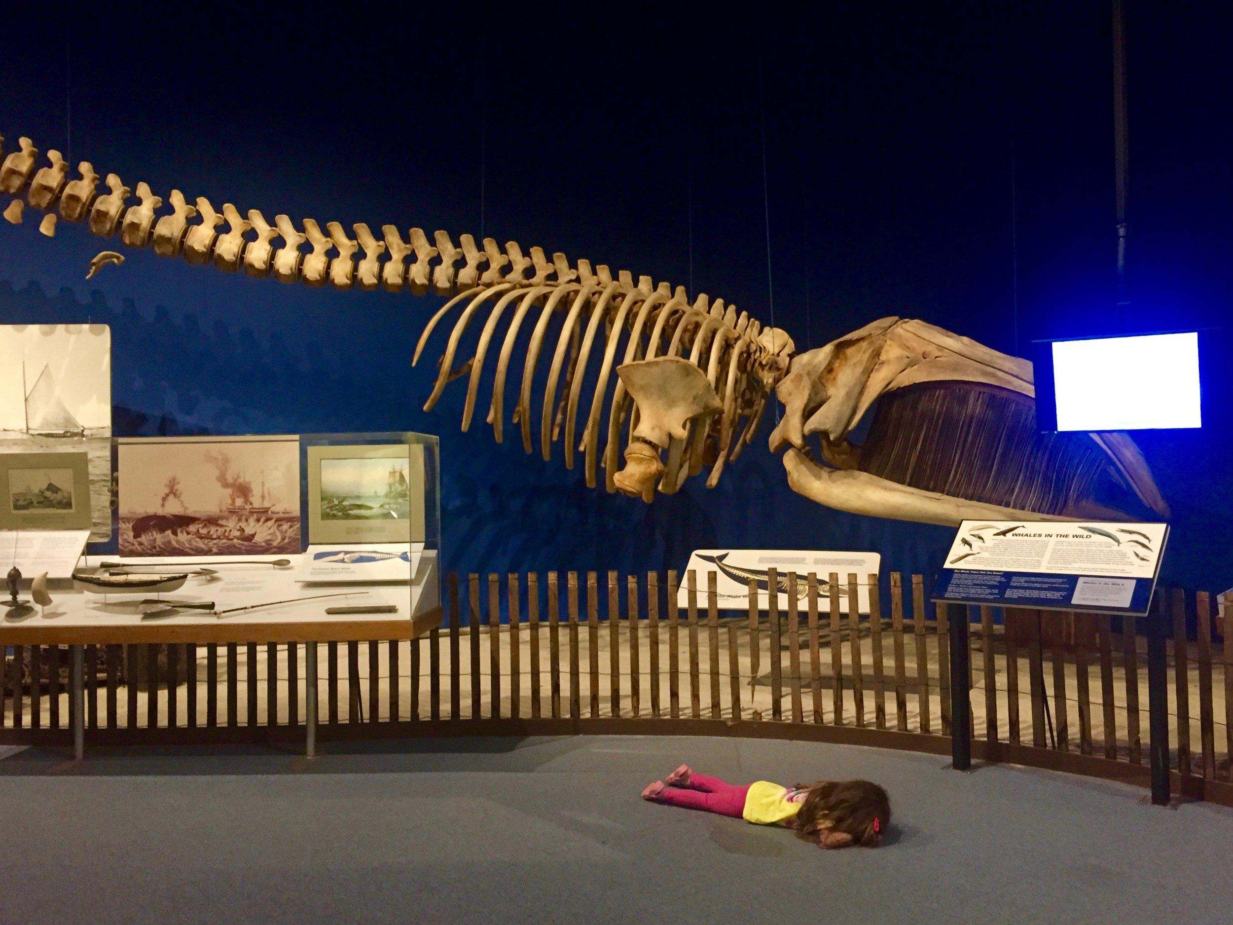 Whale skeleton at NYSM