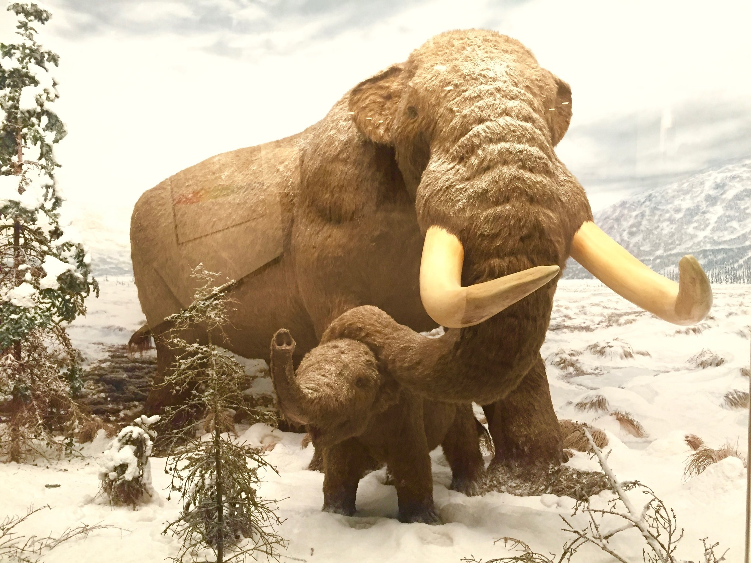 albany museum wooly mammoth.jpg