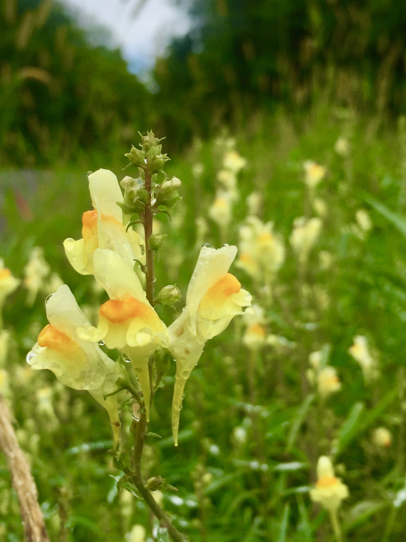 Wild yellow snapdragon (a.k.a yellow toadflax or butter-and-eggs) already grows on our meadow.