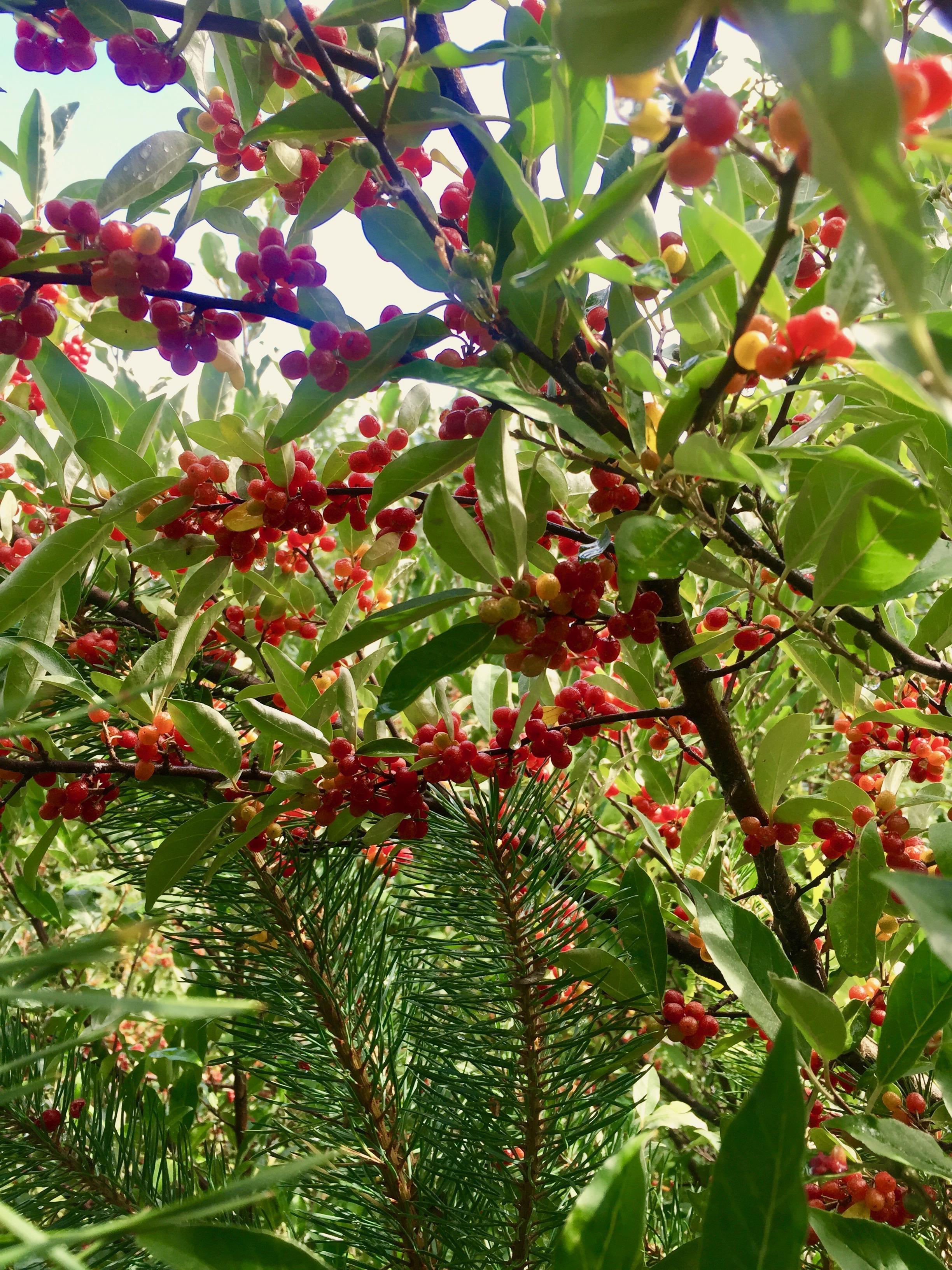 Pine needles mingle with winterberries on more land we've left to go wild.