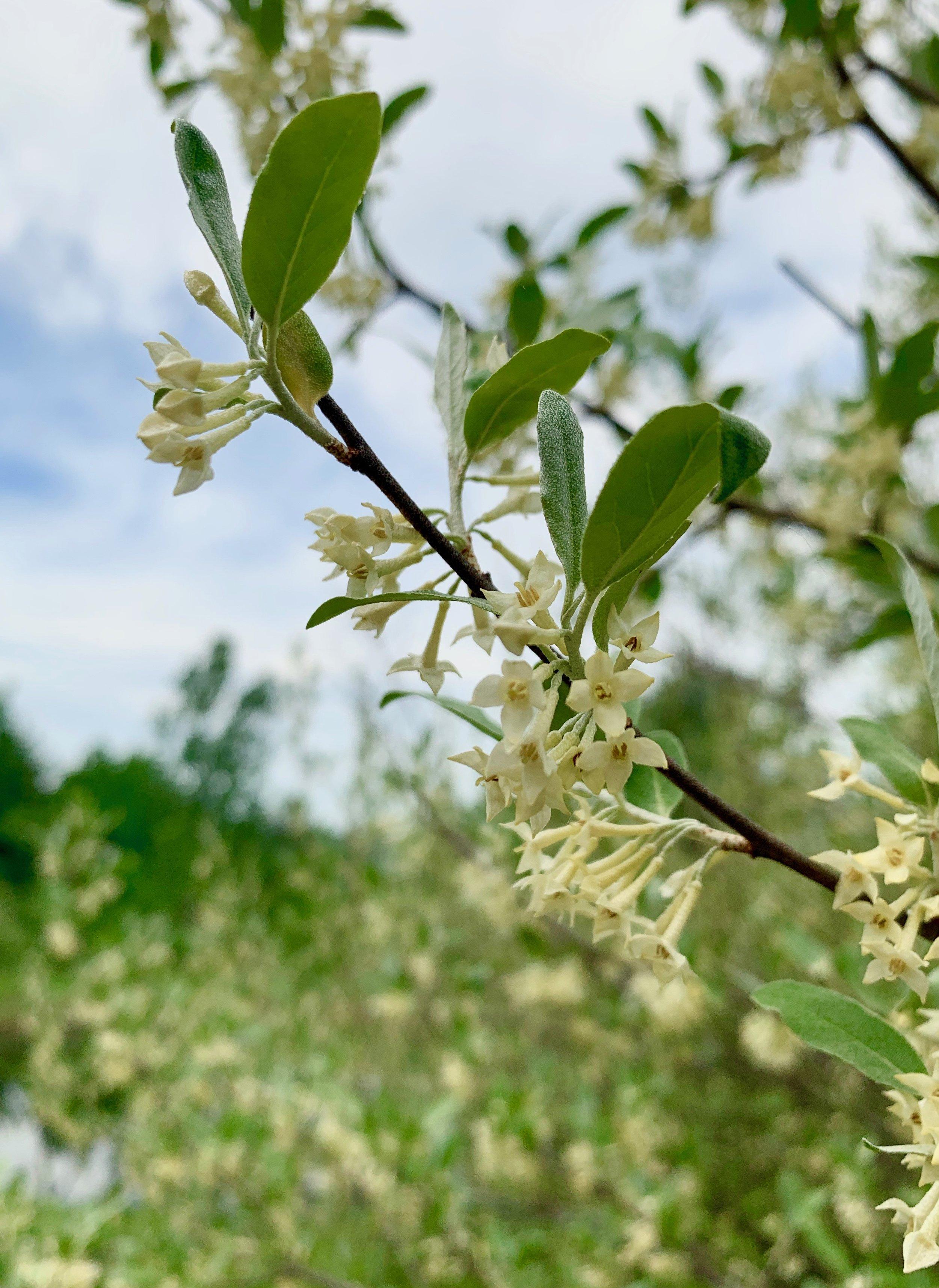 large thorny bushes with cream-colored trumpet-shaped flowers, Elaegnus umbellata, autumn olive
