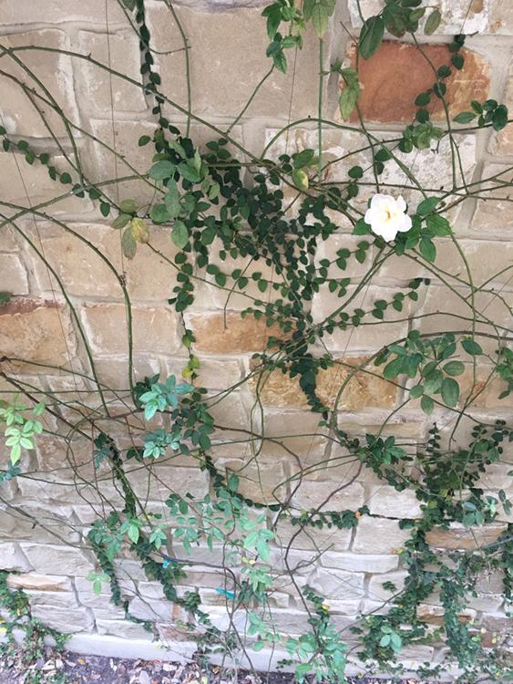 Slideshow_wall of ivy circle.jpg